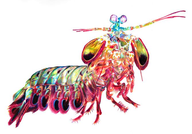 Mantis Shrimp - Art by Yvonne Byers